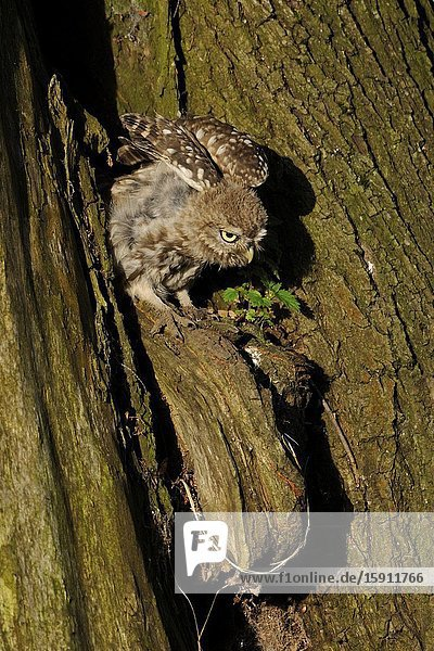 Little Owl / Steinkauz ( Athene noctua )  perched in front of its nest hollow in an old willow tree  stretching its body and wings in first morning light  wildlife  Europe.