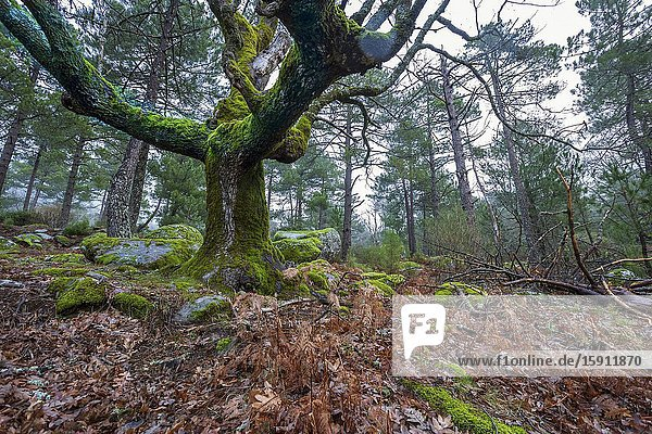 Oaks with moss and pines at Graja gorge. Sierra de Gredos. Avila. Spain. Europe.