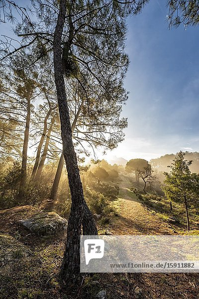 Pathway between conifers  grass and fog early in the morning. Madrid. Spain. Europe.