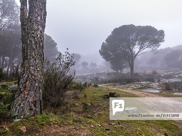 Pines  grass  bushes and fog at Muniana Cliff. Cadalso de los Vidrios. Madrid. Spain. Europe.