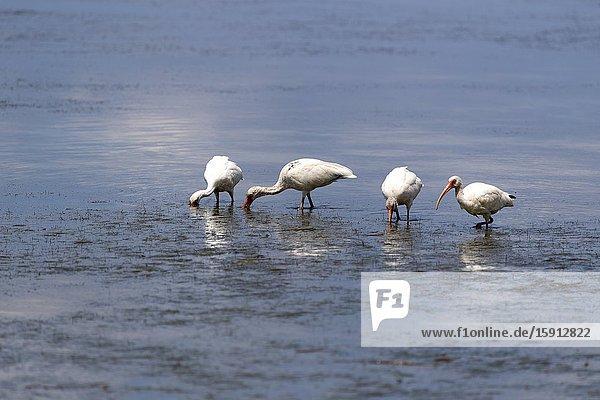 American white ibis (Eodocimus albus)  Siesta Key  Sarasota  Florida  USA.