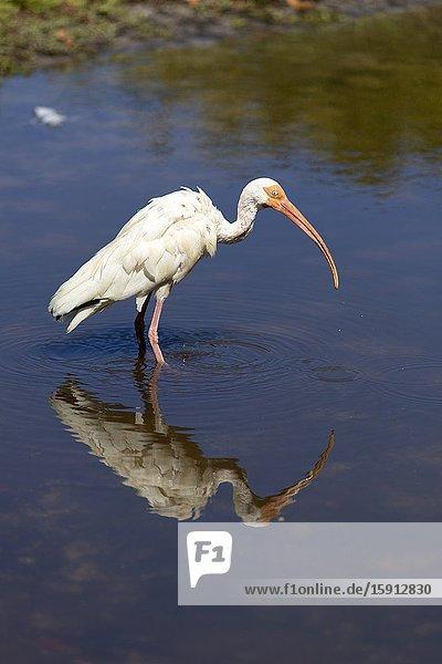 American white ibis (Eodocimus albus)  Bill Baggs Park  Miami-Dade  Florida  USA..