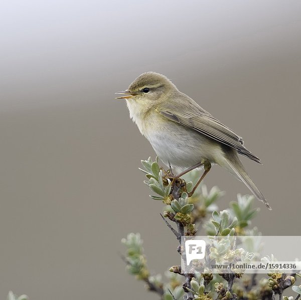 Willow Warbler / Fitis ( Phylloscopus trochilus )  little bird  adult male in spring  perched on top of seabuckthorn  singing  wildlife  Europe.