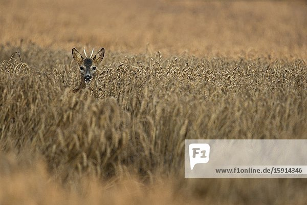 Roe Deer / Reh ( Capreolus capreolus )  young male with pointed antlers looking out of a golden coloured grain field.