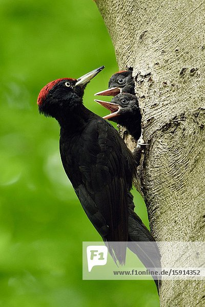Black Woodpecker ( Dryocopus martius ) in front of nest hole  feeding impatient begging nestlings  wildlife  Europe.
