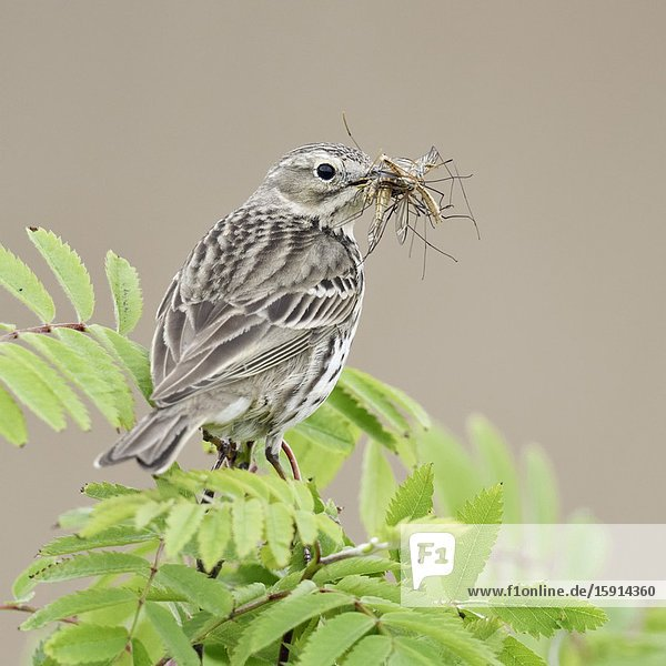 Meadow Pipit ( Anthus pratensis ) perched on top of branch of a bush  with prey in its beak to feed chicks  wildlife  Europe.