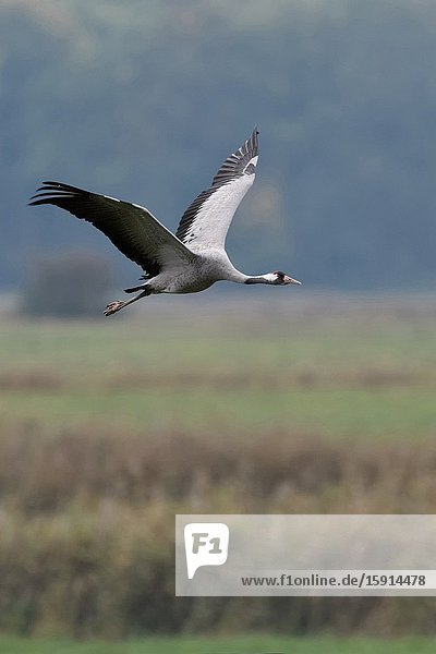 Common Crane / Graukranich ( Grus grus )  adult in flight  flying above wetlands  in typical surrounding  migratory bird  wildlife  Europe.