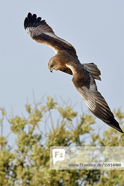 Western Marsh Harrier / Rohrweihe ( Circus aeruginosus )  adult male  flying  hunting flight  watching for prey  wildlife  Europe.