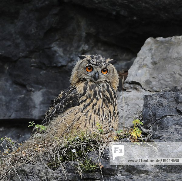 Eagle Owl / Uhu ( Bubo bubo )  juvenile bird  sitting in the slope of an old quarry  watching attentively  looks funny  wildlife  Europe..