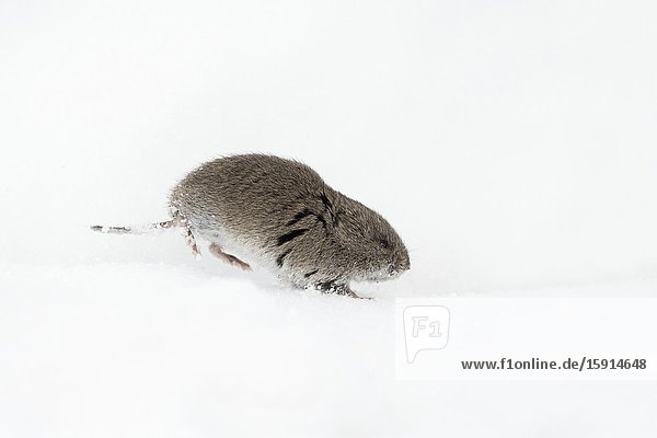 Montane Vole / Rocky Mountains Wuehlmaus ( Microtus montanus ) in winter  running through the snow  wildlife  Grand Teton National Park  USA..