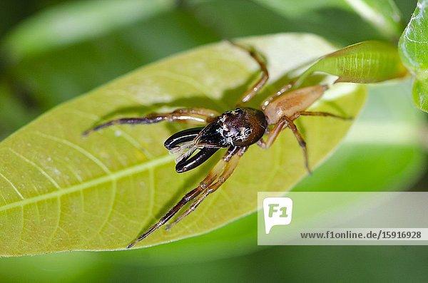 Jumping Spider (Bathippus sp) with long chelicerae on leaf  Weda  Halmahera  Indonesia.