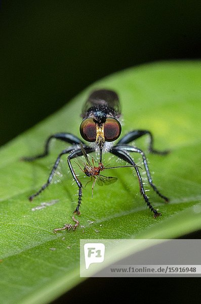 Assassin Fly (Assilidae Family) with prey on leaf  Weda  Halmahera  Indonesia.