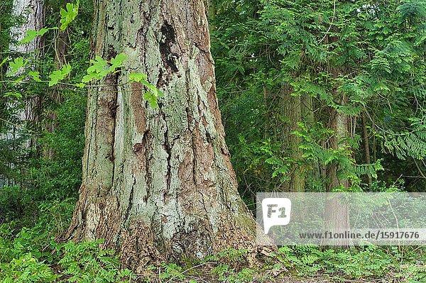 Douglas firs  Pseudotsuga menziesii  Newcastle Island  Nanaimo  British Columbia  Canada.