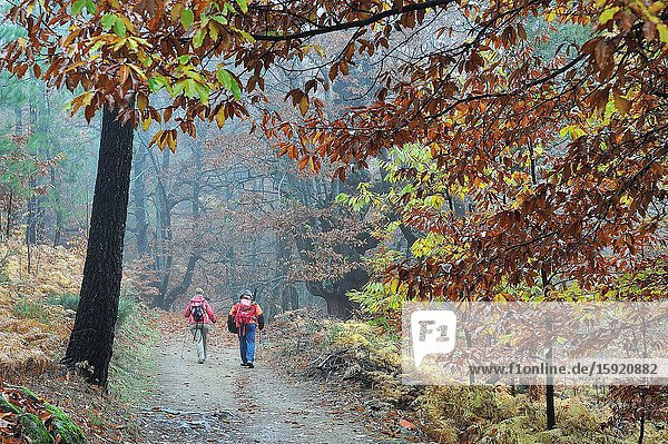 Hikers in the Forest of El Castañar (Chesnut grove) in autumn. Casillas town  Avila province  Spain