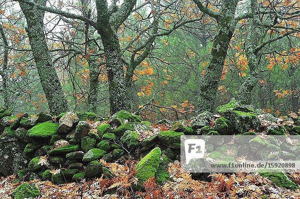 The forest in autumn. La Hiruela town  Madrid province  Spain