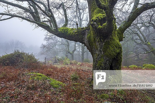 Oak with and wooden gate in the fog at Graja gorge in Sierra de Gredos. Avila. Spain. Europe.