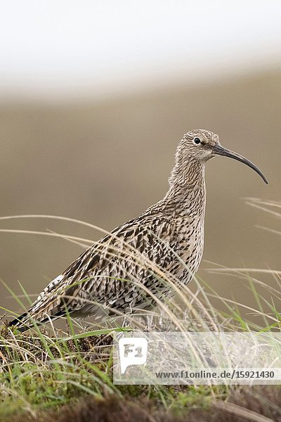 Eurasian Curlew / Grosser Brachvogel ( Numenius arquata ) in the dunes  in typical surrounding  wildlife  Europe.