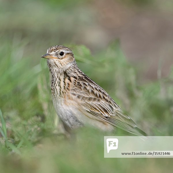 Skylark / Feldlerche ( Alauda arvensis ) sitting on the ground  in typical surrounding  bird of open farmland  wildlife  Europe.
