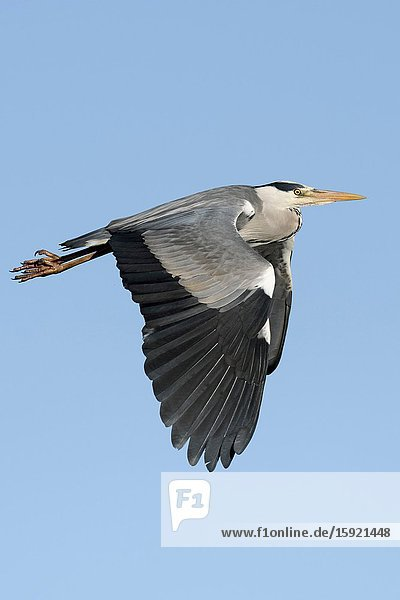 Grey Heron / Graureiher ( Ardea cinerea ) in flight  flying  blue sky  typical flight posture  wildlife  Europe.