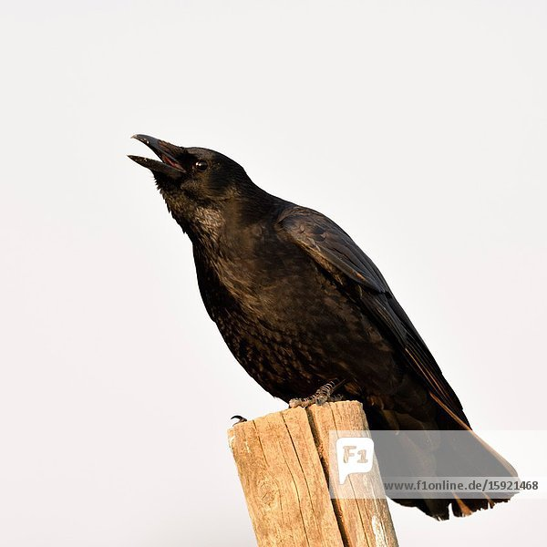 Carrion Crow / Rabenkraehe ( Corvus corone ) in winter  perched on a fence pole  calling  crawing loudly  wildlife  Europe.