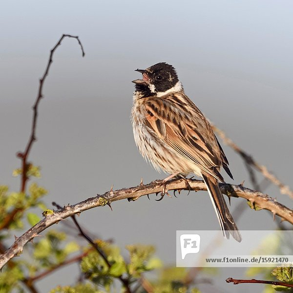 Reed Bunting / Rohrammer ( Emberiza schoeniclus )  adult male  perched on top of a bush  early in the morning  singing  wildlife  Europe.