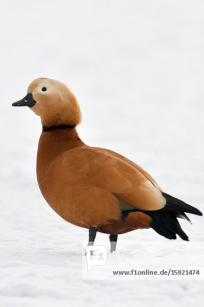 Ruddy Shelduck / Rostgans ( Tadorne casarca )  male bird in breeding dress  standing on snow covered farmland  invasive spezies in Europe  wildlife..