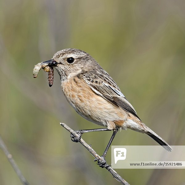 European Stonechat ( Saxicola torquata )  female  perched on top a bush  holding food for its chicks in beak  wildlife  Europe.
