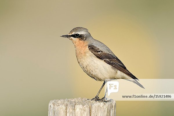 Northern Wheatear / Steinschmätzer ( Oenanthe oenanthe )  male adult  perched on a fence post  detailed shot  wildlife  Europe.