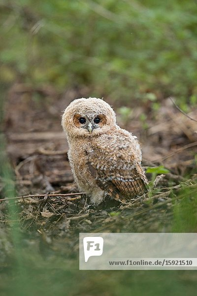 Tawny Owl ( Strix aluco )  young chick  owlet  left its nest  sitting on the ground in the woods  in typical situation  wildlife  Europe.