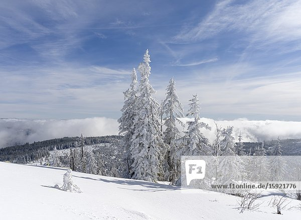 Snow-covered trees at the peak of Mount Lusen. Winter at Mount Lusen in National Park Bavarian Forest (Bayerischer Wald)  Europe  Central Europe  Germany  Bavaria.