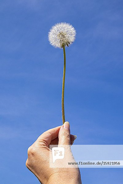 Female hand holding a blowball against a bright blue sky.