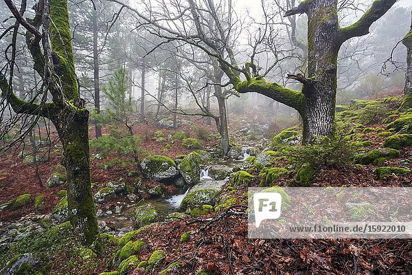Oaks and pines with moss  stream and fog at Graja gorge in Sierra de Gredos. Avila. Spain. Europe.