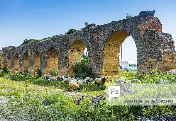 Zaghouan Aqueduct and flock of sheep. Tunisia  Africa.