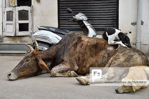 India  Rajasthan  Bikaner  The old town  Sleepy cow and dogs.
