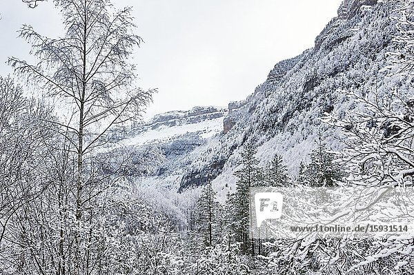 Pyrenees: Snowy alpine forest in the National park of Ordesa and Monte Perdido (Huesca province  Aragon region  Spain)
