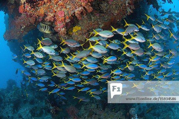 School of Blue and Yellow Fusiliers (Caesio teres)  No Contest dive site  Balbulol Island  Misool Island  Raja Ampat  Indonesia.