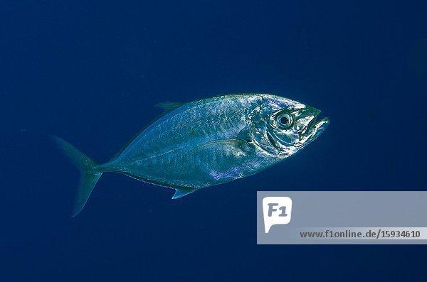 Barcheek Trevally (Carangoides plagiotaenia)  Whale Rock dive site  Misool Island  Raja Ampat  Indonesia.
