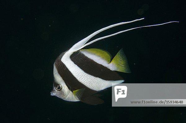 Longfin Bannerfish (Heniochus acuminatus) with long double dorsal fin  night dive  Boo East dive site  Misool Island  Raja Ampat  Indonesia.