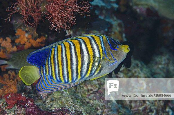 Regal Angelfish (Pygoplites diacanthus)  Eagle Nest dive site  Misool Island  Raja Ampat  Indonesia.