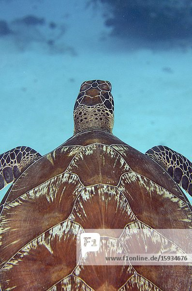 Green Turtle (Chelonia mydas) swimming  Too Many Fish dive site  Koon Island  Raja Ampat  Indonesia.