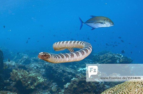 Chinese Sea Snake (Laticauda semifasciata) in hunting alliance with Bluefin Trevally (Caranx melampygus)  Red Cliff dive site  Manuk Island  Indonesia  Banda Sea.