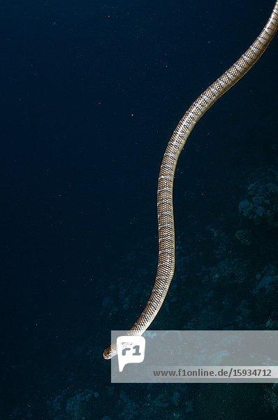 Chinese Sea Snake (Laticauda semifasciata)  Snake Ridge dive site  Manuk Island  Indonesia  Banda Sea.