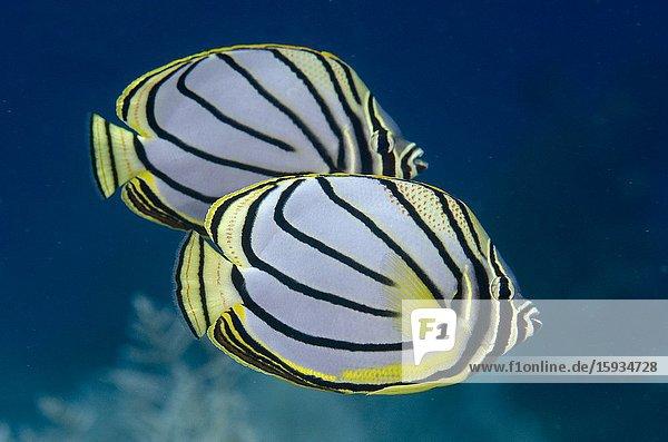 Pair of Meyer's Butterflyfish (Chaetodon meyersi)  Pohon Miring dive site  Banda Besar Island  Banda Islands  Indonesia  Banda Sea.