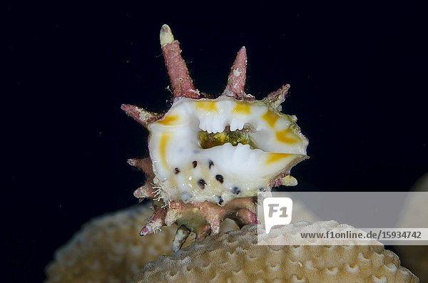 Sea Snail (Drupa sp)  Suanggi Island dive site  Banda Islands  Indonesia  Banda Sea.