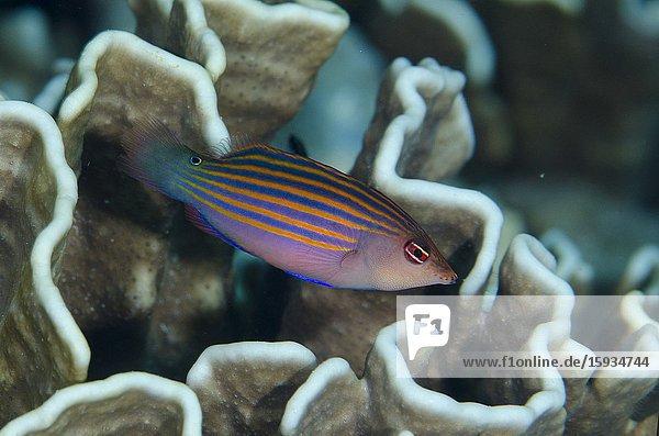 Sixstripe Wrasse (Pseudocheilinus hexataenia)  Suanggi Island dive site  Banda Islands  Indonesia  Banda Sea.