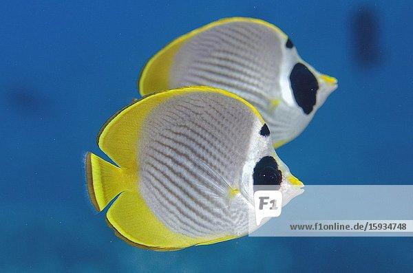 Pair of Panda Butterflyfish (Chaetodon adiergastos)  Suanggi Island dive site  Banda Islands  Indonesia  Banda Sea.