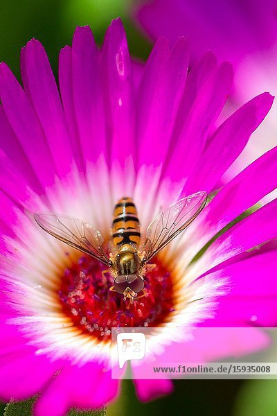 Livingstone daisy with hoverfly looking for nectar.