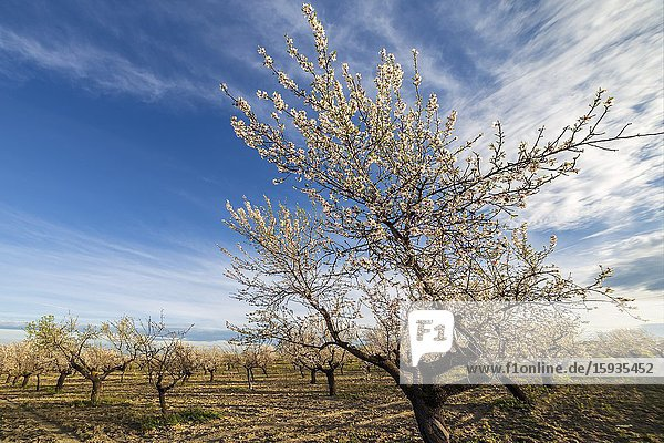 Blossom almond trees in Pinto  early in the morning. Madrid. Spain. Europe.