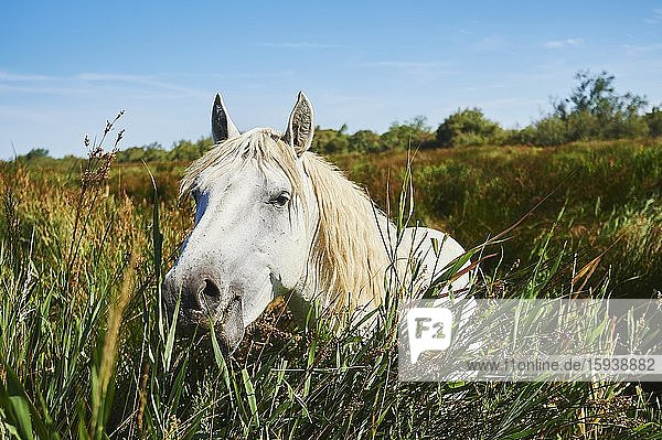 Camargue horse standing in high reeds  animal portrait  Camargue  France  Europe
