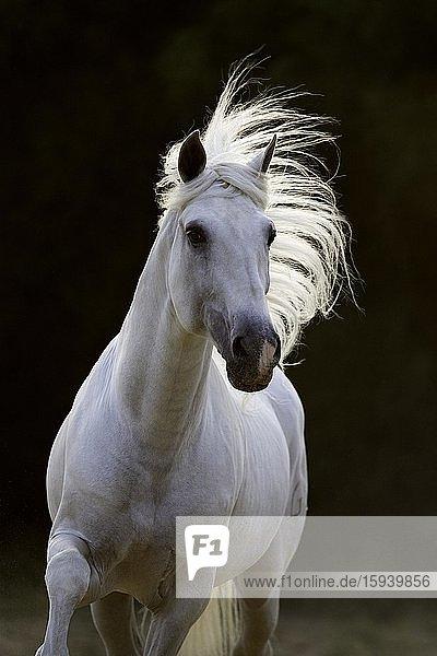 Spanish grey stallion in movement  grey stallion  Andalusia  Spain  Europe